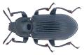 Meneristes australis (Boisduval, 1835) (35701421811).png