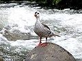 Merganetta armata (Pato de torrente) - Macho (14067498698).jpg