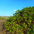 Miami Beach - Sand Dune Flora - Green Plants and Bushes 05.jpg