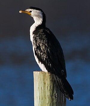 Little pied cormorant - M. melanoleucos