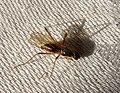 Micropezidae. Brachycera - Flickr - gailhampshire.jpg