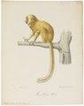 Midas rosalia - 1818-1842 - Print - Iconographia Zoologica - Special Collections University of Amsterdam - UBA01 IZ20200053.tif