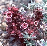 Mimulus mohavensis.jpg