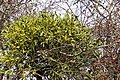 Mistletoe (Viscum album) - geograph.org.uk - 301718.jpg