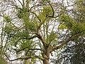 Mistletoe on a tree - geograph.org.uk - 1321179.jpg