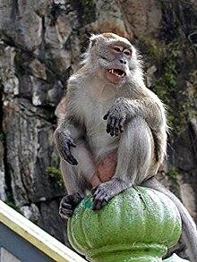 Macaco das cavernas de Batu, na Malásia.