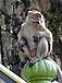 57px-Monkey_batu.jpg.png