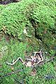 Mont-la-Ville, abri sous roche du Mollendruz, restes d'oiseaux.jpg