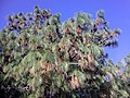 Monte Alban pine tree.jpg