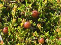 Moosbeere (Vaccinium oxycoccos) Becklinger Moor@20150801 04.JPG