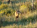 Morning Fawn, Mesa Verde NP 2008 (8597614267).jpg