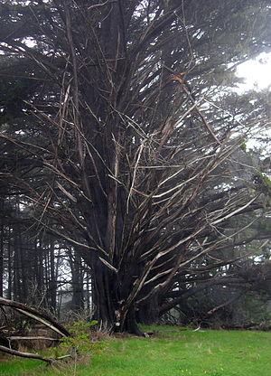 Moss Beach, California - Ancient Cypress trees atop coastal bluff