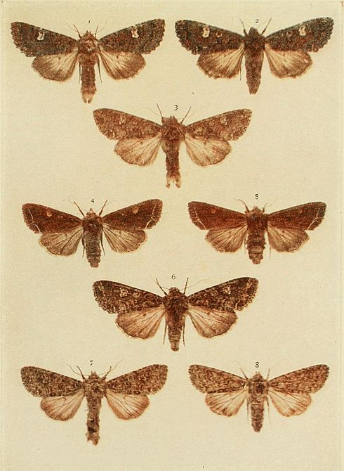 Moths of the British Isles Plate120.jpg
