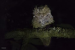 Mountain scops owl.jpg