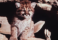 Moutain lion cub.jpg
