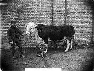 Mr Roberts's bull