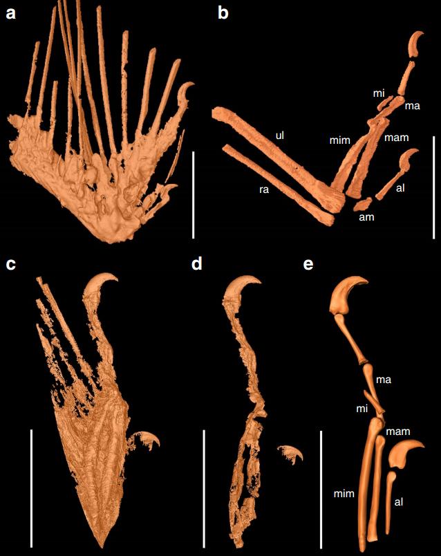 Mummified precocial bird wings in mid-Cretaceous Burmese amber (2016) fig. 1