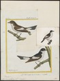 Muscicapa collaris - 1700-1880 - Print - Iconographia Zoologica - Special Collections University of Amsterdam - UBA01 IZ16500165.tif