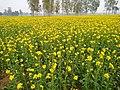 Mustard Field-1.jpg