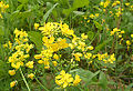 Mustard Plant Flower.jpg