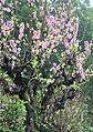 Muzha Apricot Garden 木柵杏花林 - panoramio.jpg