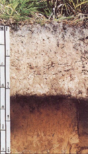 Myakka (soil) - Image: Myakka soil