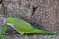 Myiopsitta monachus -Barcelona, Spain-8 (1).jpg