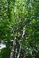 Mykulyntsi-buky-n5-15056878.jpg