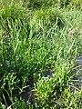 Myosotis scorpioides (subsp. scorpioides) sl29.jpg