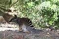 Myrmecobius fasciatus -Perth Zoo, Western Australia, Australia-8a.jpg