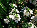 Myrtus communis subsp. tarentina004.JPG