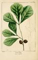 NAS-019 Quercus nigra.png
