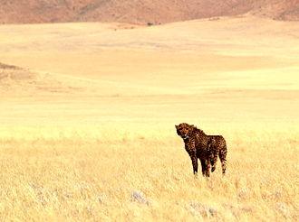 N/a'an ku sê Wildlife Sanctuary - Image: Naankuse 3 cheetah release (7 9) 094b