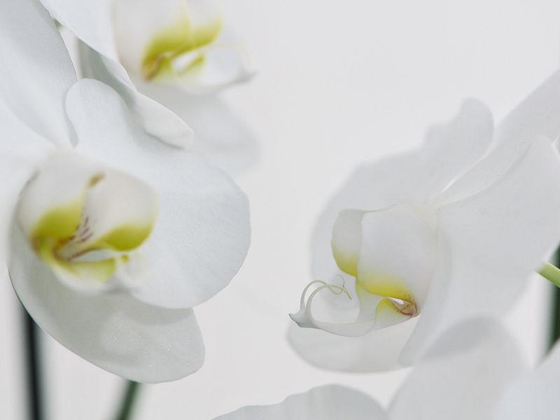 file nachtfalter orchidee phalaenopsis 07 jpg wikimedia. Black Bedroom Furniture Sets. Home Design Ideas