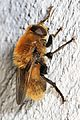 Narcissus Bulb Fly - Merodon equestris, Woodbridge, Virginia.jpg