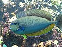 Naso vlamingii - Masken-Nasendoktorfisch imponierend
