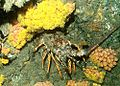 Natal ornate spiny lobster among turret corals.jpg