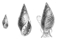 Natural History - Mollusca - Conovulus.png