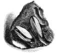 Natural History - Mollusca - Saxicava.png