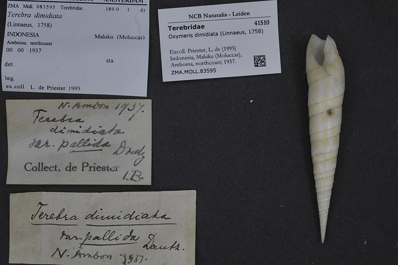 File:Naturalis Biodiversity Center - ZMA.MOLL.83595 - Oxymeris dimidiata (Linnaeus, 1758) - Terebridae - Mollusc shell.jpeg