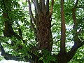 Naturdenkmal Hainbuche Döhren Melle -Unterm Baum- Datei 6.jpg