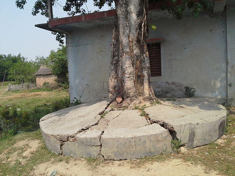 File:Nature Strikes Peepal tree cracks the swmented Floor...jpg