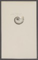 Nautilus spec. - - Print - Iconographia Zoologica - Special Collections University of Amsterdam - UBAINV0274 091 03 0021.tif