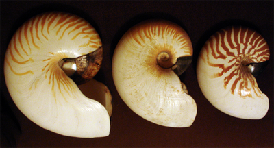 Photo of profiles of three progressively larger nautilus shells