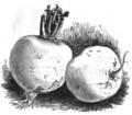 Navet du Limousin Vilmorin-Andrieux 1883.png