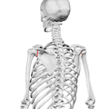 Neck of scapula02.png
