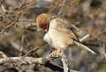 Neddicky, or Piping Cisticola, Cisticola fulvicapilla at Polokwane Nature Reserve, Polokwane, Limpopo, South Africa (14685084212).jpg