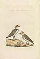 Nederlandsche vogelen (KB) - Charadrius alexandrinus (470b).jpg
