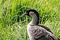 Nene or Hawaiian Goose Hakalau NWR HI 2018-12-02 13-12-56 (44345686510).jpg