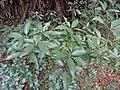Neolitsea aciculata - Miyajima Natural Botanical Garden - DSC02299.JPG